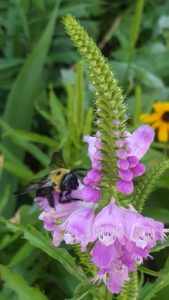 Obedient Plant (Physostegia virginiana)