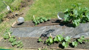 Watermelon, cantaloupe, cucumber, and zucchini plants